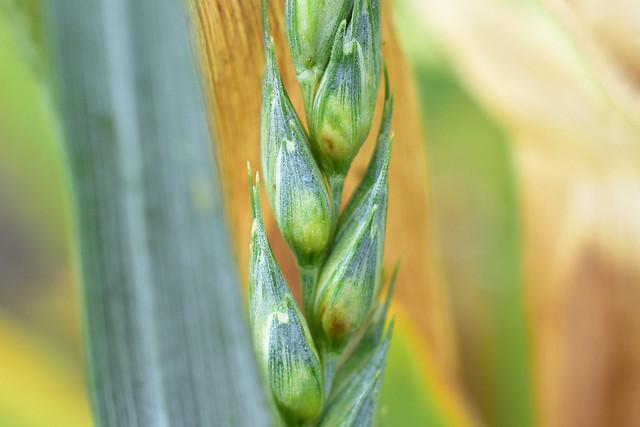 DSC_6005 Épi de blé