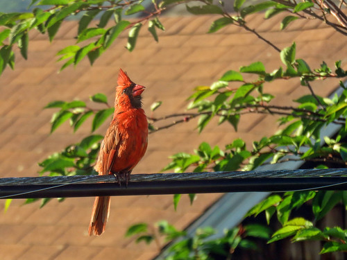 The Cardinal in the Morning