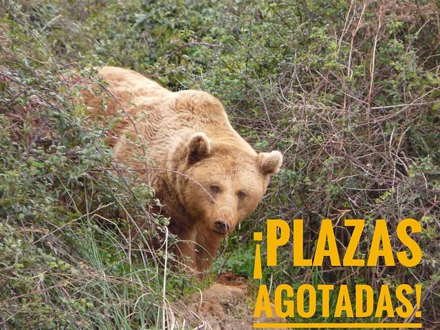 Plazas agotadas del viaje de autor para ver el oso pardo en Asturias