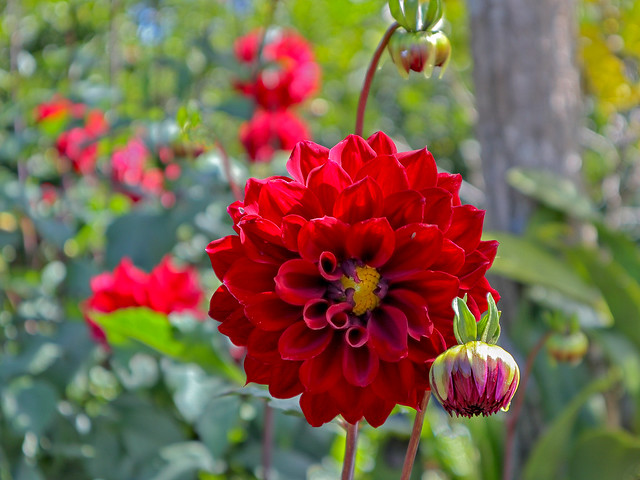 Red Dahlia and Bud. #28/100. 100 x Flowers 2020