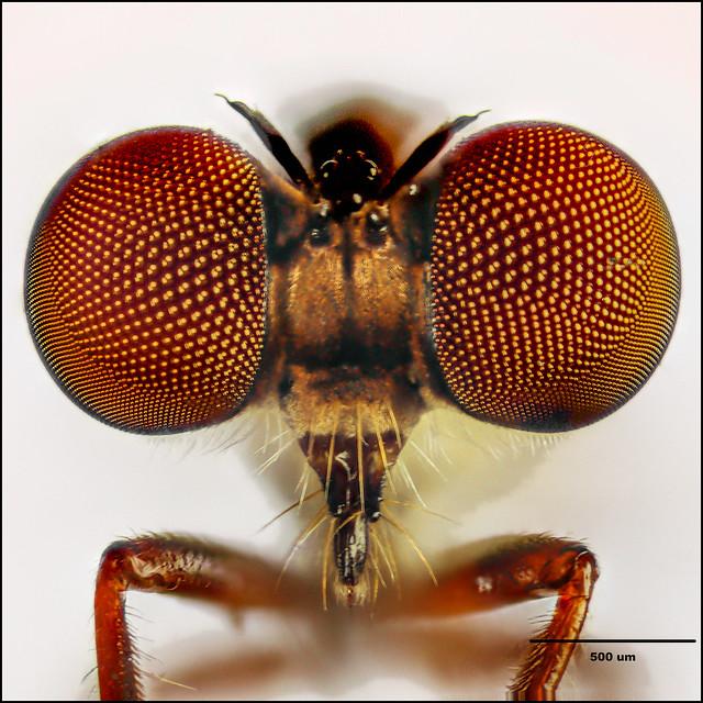 Family Asilidae (Robber Flies) / Genus Holcocephala