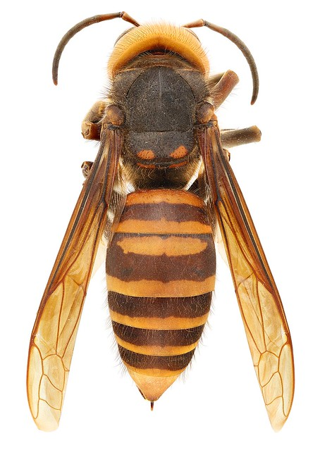 The Asian giant hornet