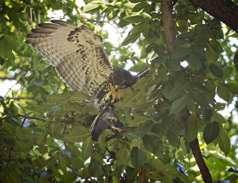 Red-tail fledgling struggles with prey