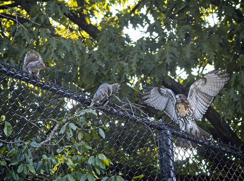 Red-tail fledgling encounters squirrels