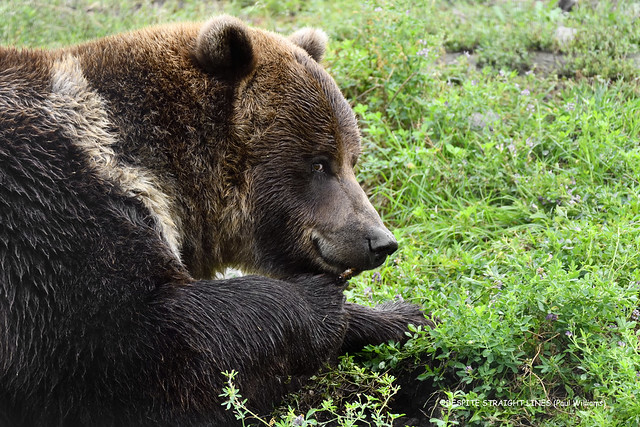 Grizzly bear (Ursus arctos)  -  (Published by GETTY IMAGES)