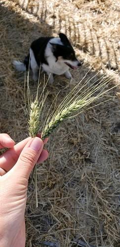 Janel Schemper Harvesting