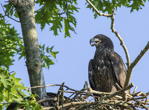 2020 june kevinpovenz westmichigan michigan ottawa ottawacounty ottawacountyparks outdoors outside wildlife wings nature nest baldeagle bird birdsofprey eaglet canon7dmarkii sigma150600