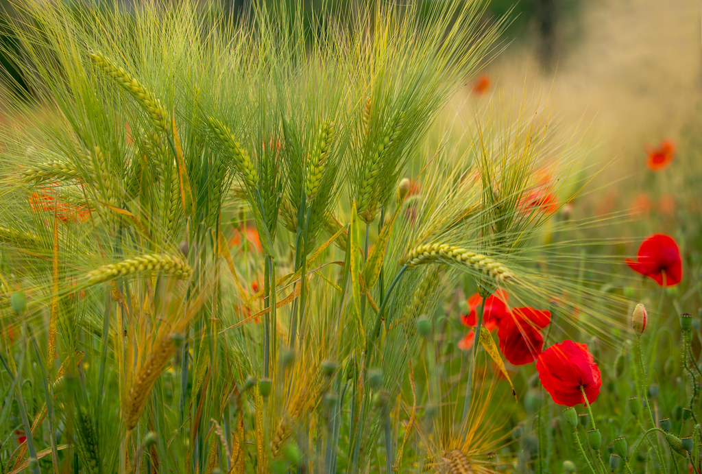 Green wheat and red poppies
