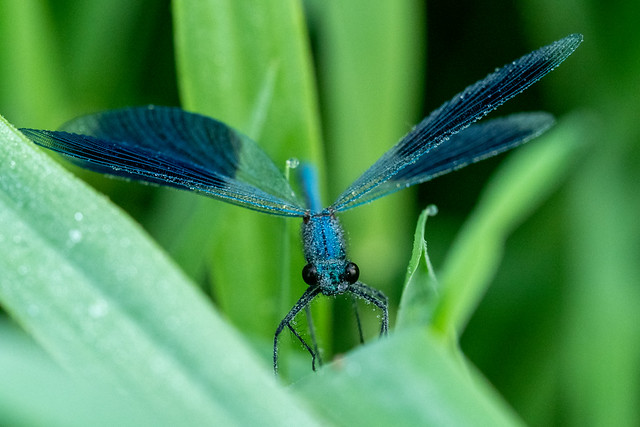 Sleeping banded demoiselle