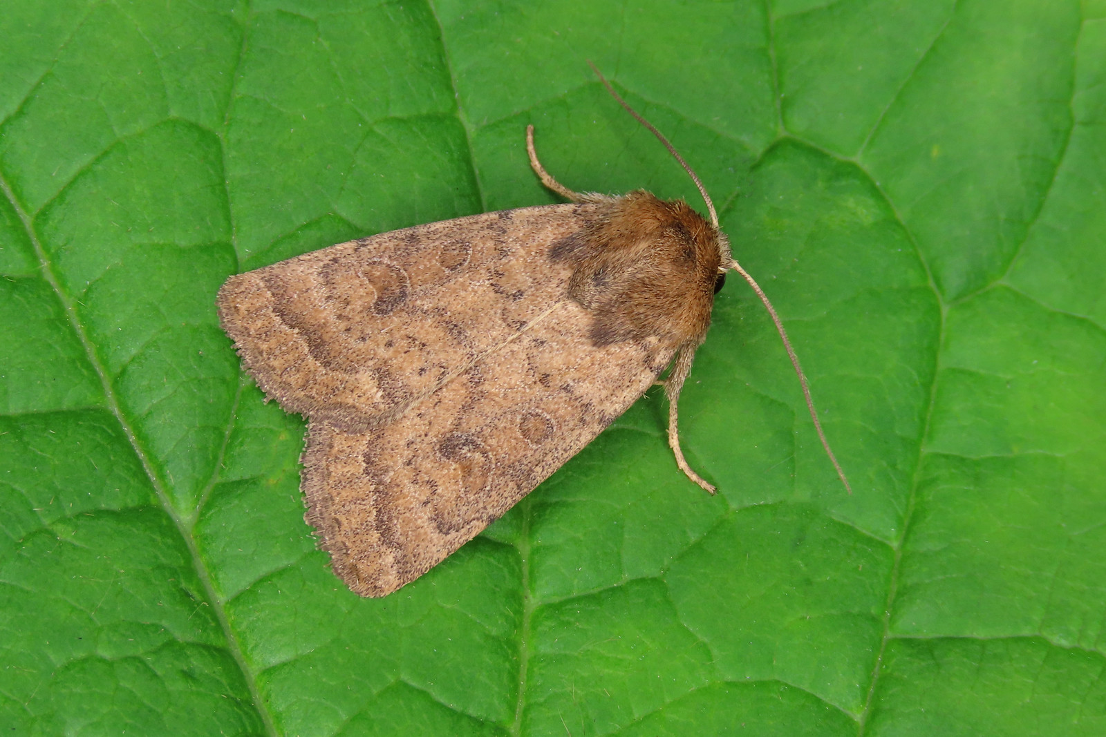 73.096 Uncertain - Hoplodrina octogenaria