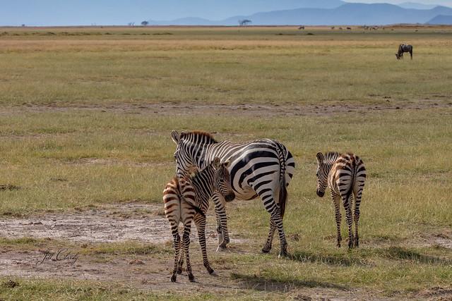 Armchair Traveling - Zebras in Amboseli National Park, Kenya