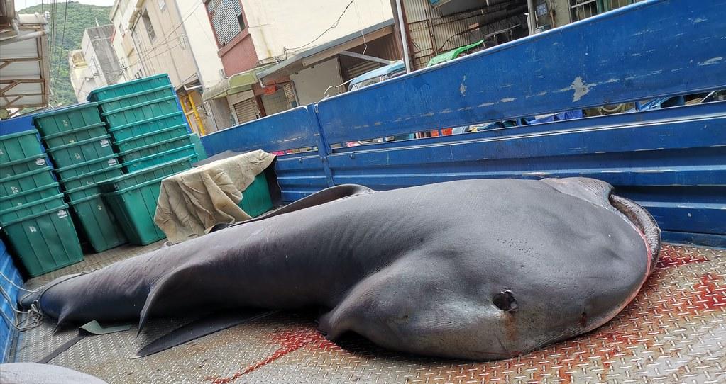 每年春天為了覓食經過台灣東部外海的巨口鯊,是漁船撈捕的對象,在族群數量不明下,環保團體要求農、海兩會拿出保育對策。圖片來源:漁業署
