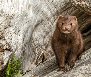 "one of my favourite animals to photograph is mink...yes they are cute, but worthy of respect and distance. They can be very feisty so caution is advised. | by island deborah- New Book ""Song of the Sparrow"" vig"