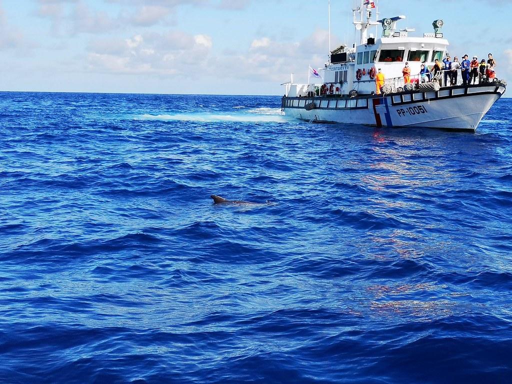 野放後的小虎鯨,在海上經過一段時間漂浮流連後,重返大海。海保署提供