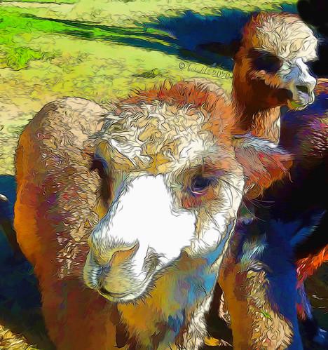 alpaca 41538 topazsimplify topazstudio2 ts2 topaz textures texturen texture textur animals tiere alpaka bunt cartoon comic outdoor outside nature natur tanglinlodgealpacas newsouthwales australia fur furry fell wollig
