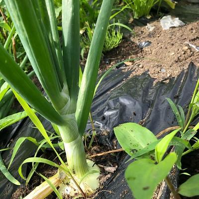 そしてこちらがはちゃめちゃ原価の高い玉葱