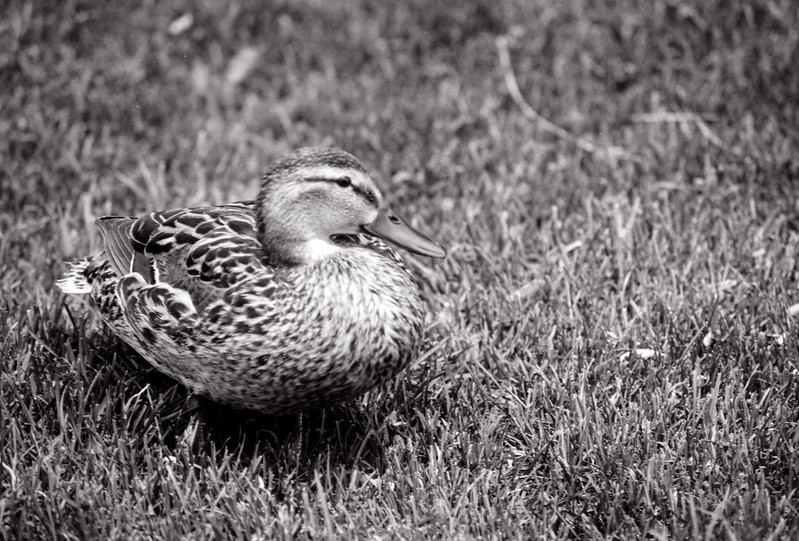 Duck in the Grass II