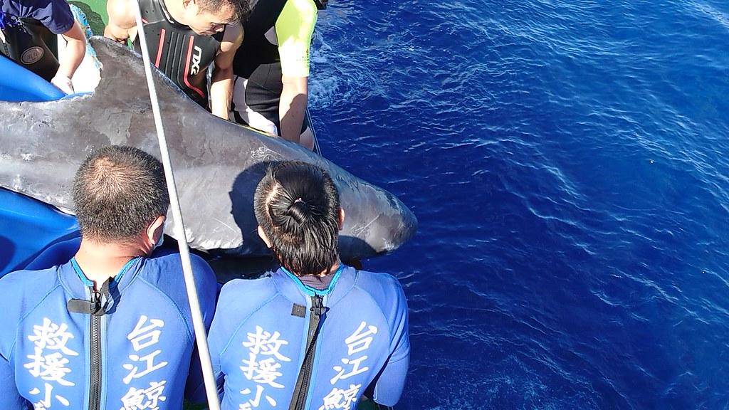 救援團隊特別選擇距離較近的海域施行野放,在離岸14海浬與小虎鯨告別。圖片來源:海保署