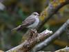 Spotted Flycatcher (Muscicapa striata) Grå Flugsnappare