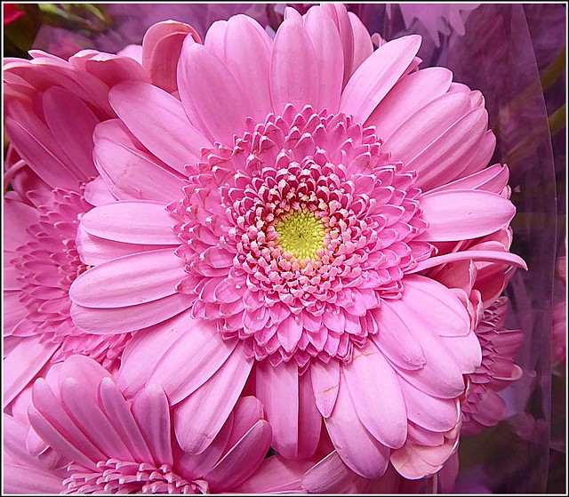 Gerbera Daisy Flower  ...