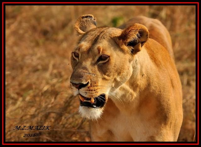 FEMALE LIONESS (Panthera leo)......MASAI MARA......SEPT 2018.