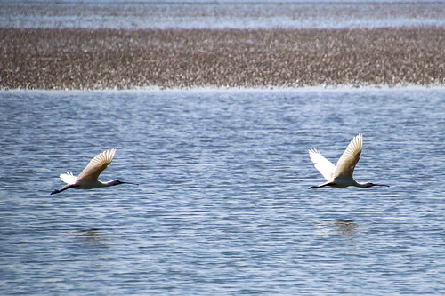 Eurasian spoonbills flying over the Wadden Sea (Vlieland, the Netherlands) | by Frans.Sellies