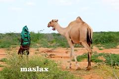 Somalia Geel Somali Camel #camels Maxamuud Gacal, Hiiran, #SomaliaSomalia. Dhulki Hooyo wacnaa. 😍