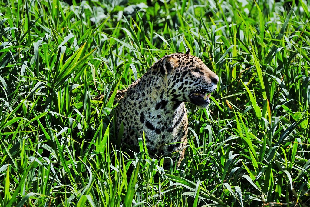 Jaguar After A Swim In The River (Panthera Onca)