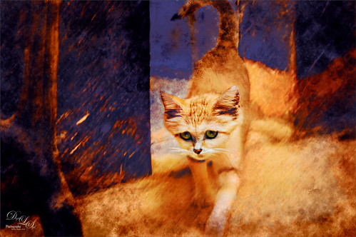 Image of a Sand Cat at the Smithsonian Washington DC Zoo