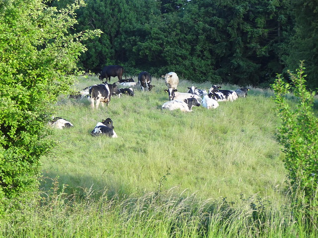 New neighbours: cows in Thistly Field