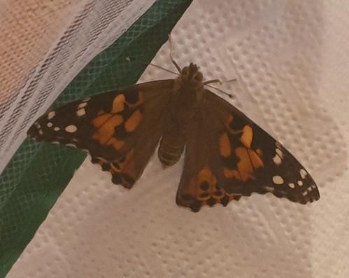 Schmetterlingsentwicklung
