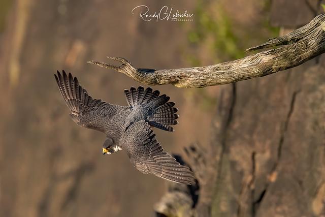 Peregrine Falcon - Falco peregrinus | 2020 - 11