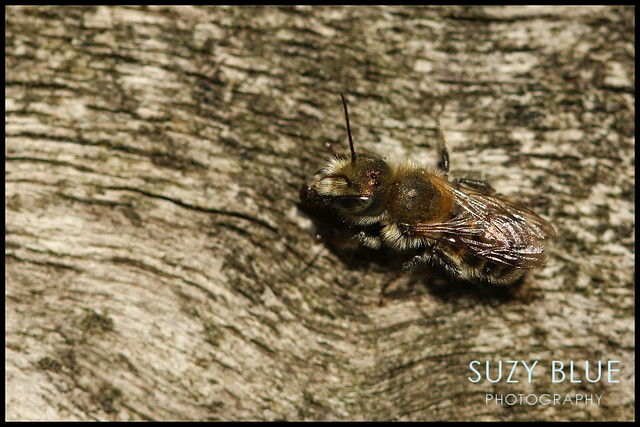 Tiny Solitary Bee