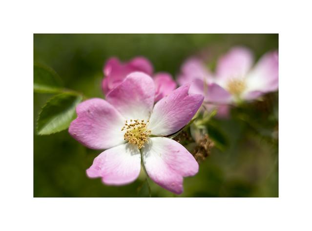 Deep Pink Dog Rose..