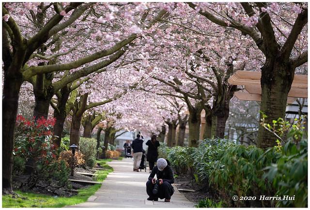 Admire Cherry Blossoms On LCD - Terra Nova XT8672e