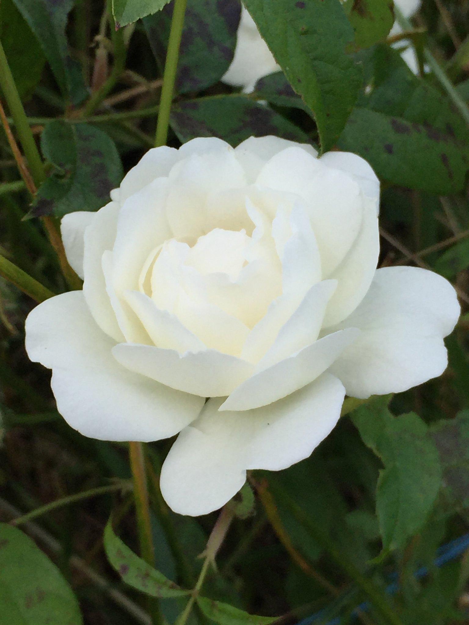 Bienfaits et vertus des Roses