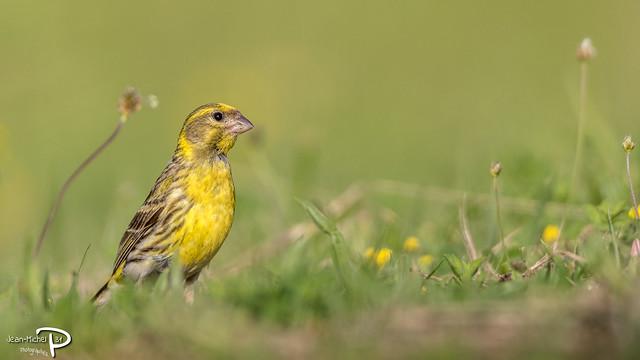Serin cini (Domaine des oiseaux - 09)