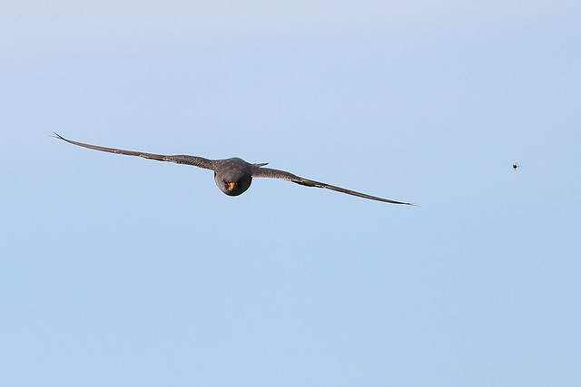 Red-footed falcon and Prey