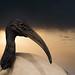 Ibis (artwork)