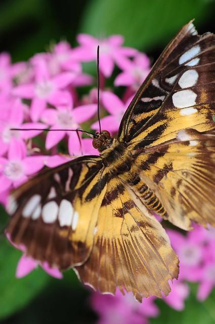 A'flutter over pink (EXPLORE 6.21.20)