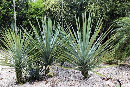 Spiky palm like tree, Valentin Imperial Riviera Maya, Mexico