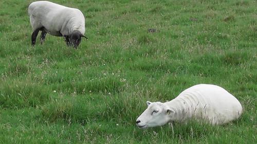 sheep June 20 (3)