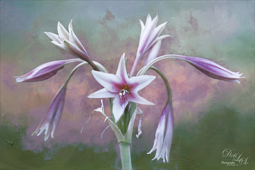 Image of a Lily