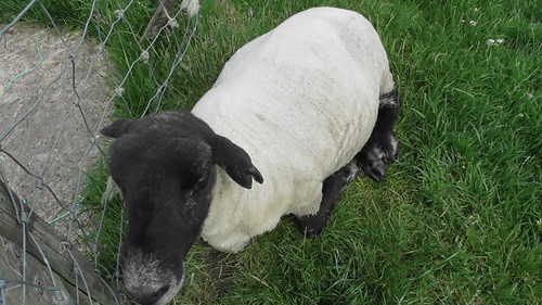 sheep June 20 (1)