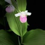Pink & White Lady's Slipper (Showy Lady's Slipper)