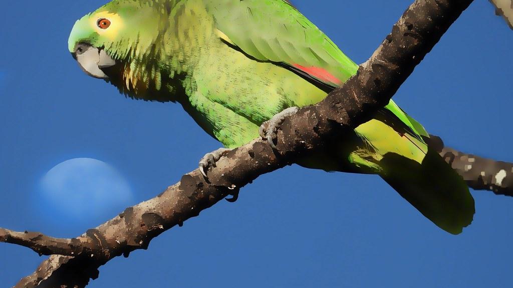 Papagaio-verdadeiro - Turquoise-fronted Parrot