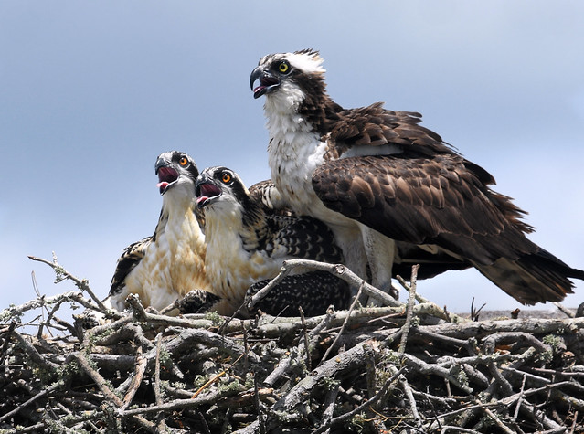 The osprey family next door trying to stay cool in the Florida heat.