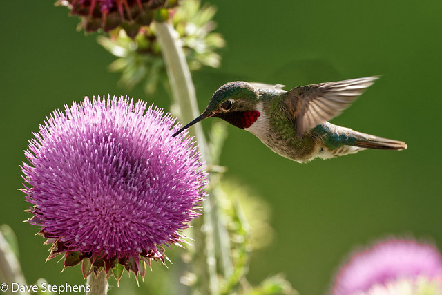 Broadtail Hummingbird Enjoys Thistle Blossom