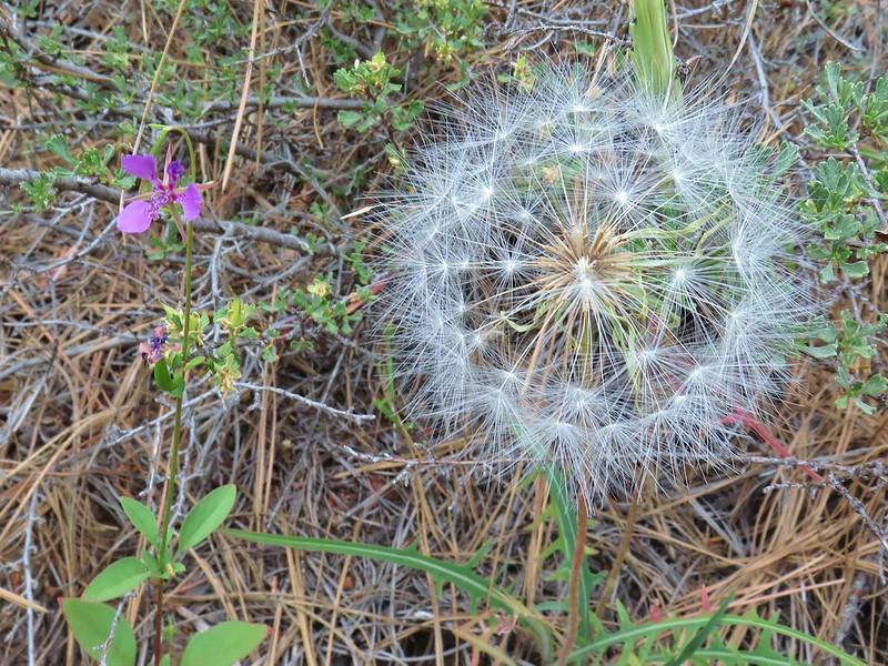 Diamond Clarkia next to a big seedhead