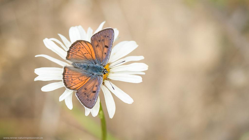 Lycaena alciphron (Violetter Feuerfalter)
